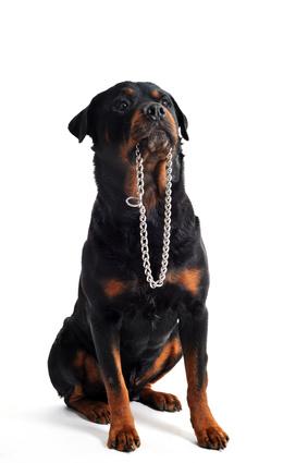 Collier de dressage pour chiens – Avis et conseils