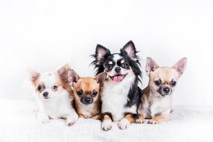 Chihuahua : origines, caractère et éducation