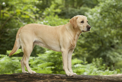 Labrador retriever : origines, caractère et éducation