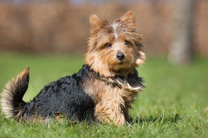 comment dresser un Yorkshire Terrier