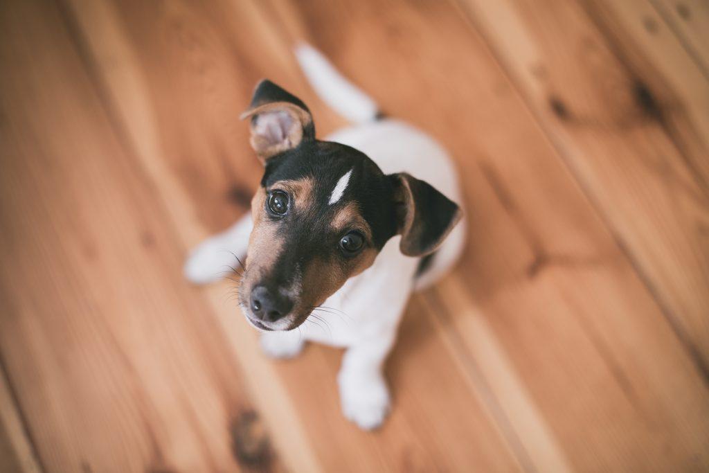 apprendre l'ordre assis à un chien