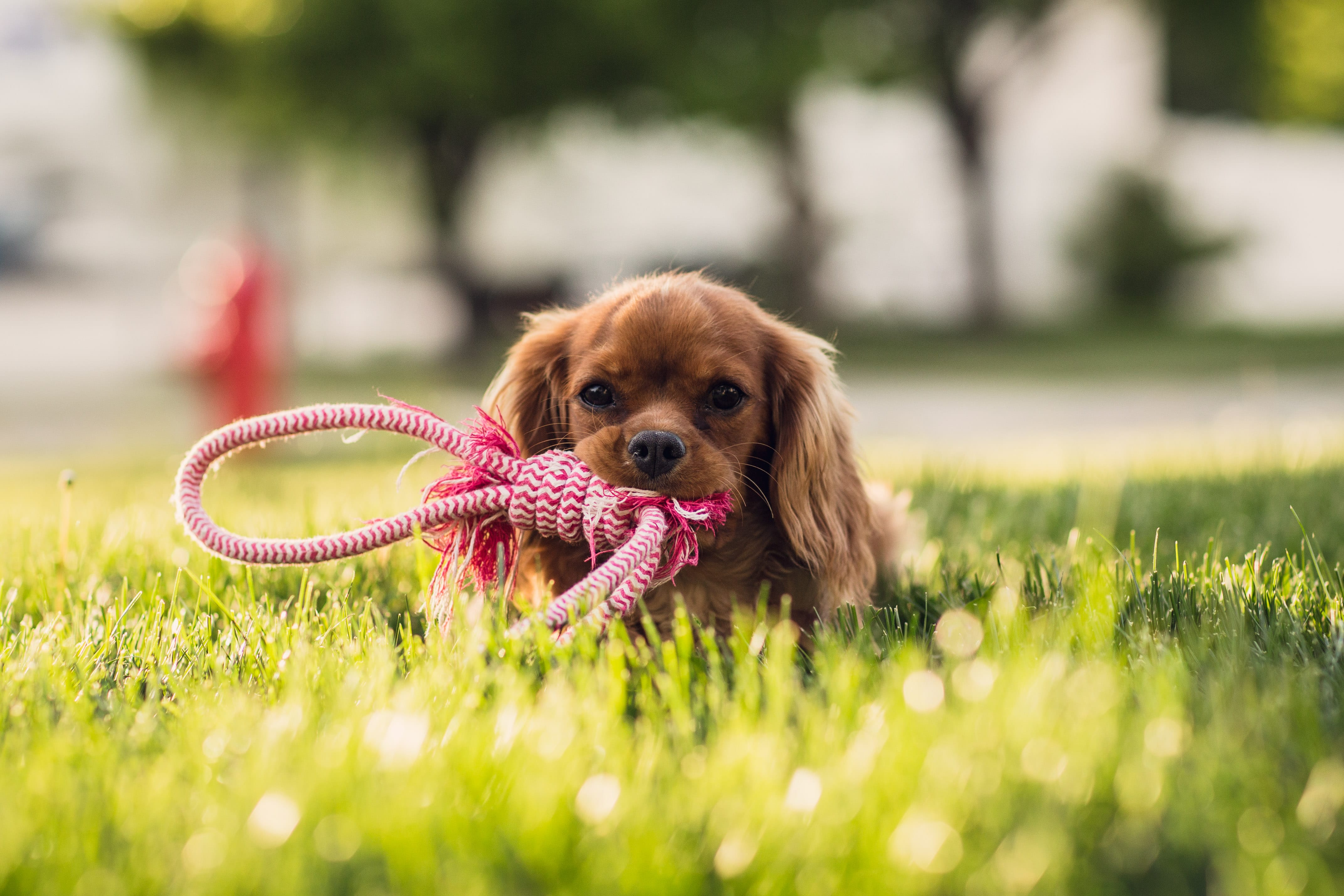 Apprendre à son chien à marcher en laisse