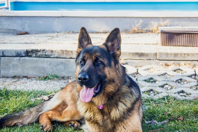 apprendre a son chien a monter la garde