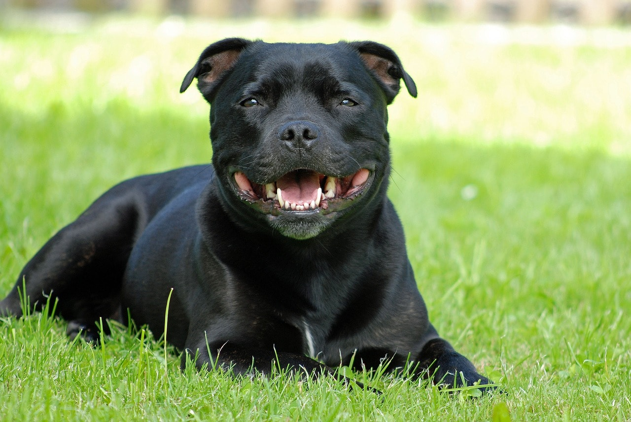 photo chien Staffordshire Bull Terrier