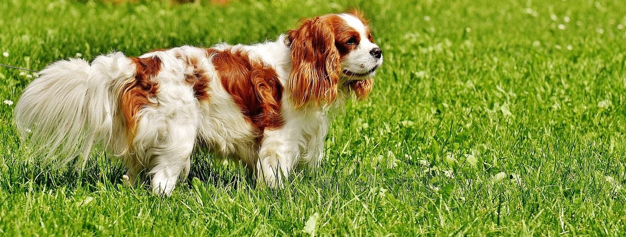 Cavalier King Charles : tout ce que vous devez savoir sur ce chien !