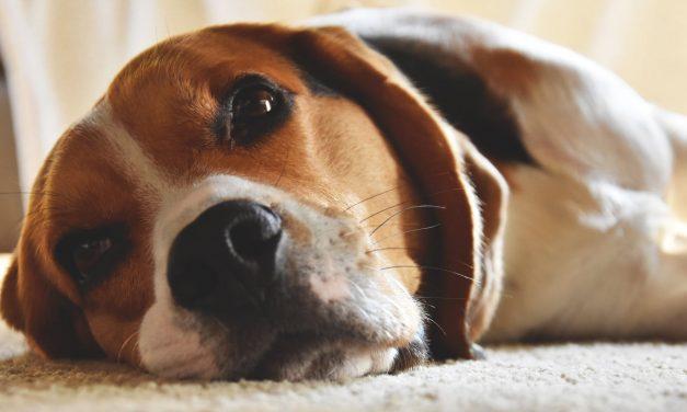Beagle : Origines, Caractère et Education – [Le Guide Complet]