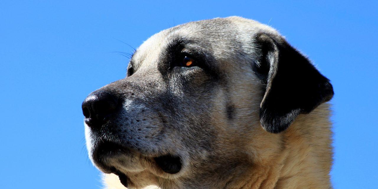 Le Kangal : tout savoir sur cette race de chien – [Guide Complet]